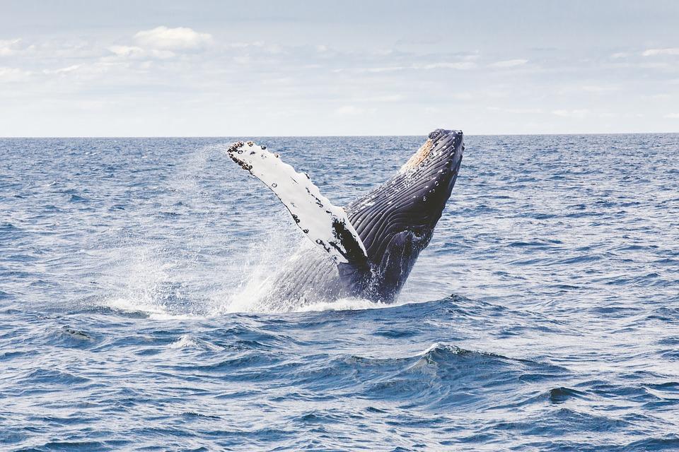 La saison des baleines est arrivée !
